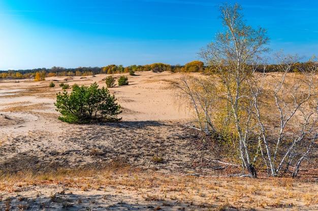 Gelbe birken und grüne kiefern in der halbwüste im herbst