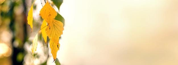 Gelbe birkenblätter auf einem leicht verschwommenen hintergrund, panorama, kopierraum