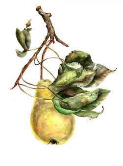 Gelbe birne auf zweig mit grünen blättern. aquarell abbildung.