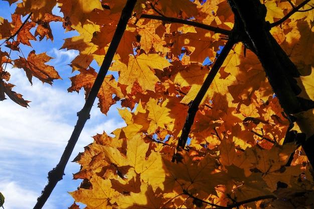 Gelbe blätter des herbstes gegen den blauen himmel, herbsthintergrund