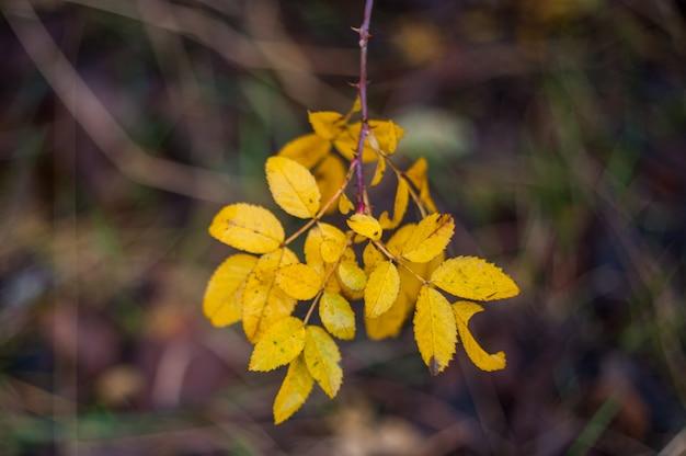 Gelbe blätter schließen sich in der natur, nähern sich dem herbst, die natur verblasst. herbst im park: goldene birkenblätter im sonnenlicht