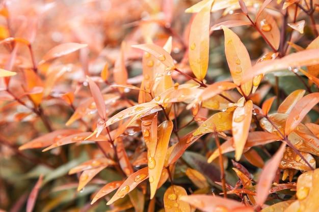 Gelbe blätter textur mit regenwassertropfen