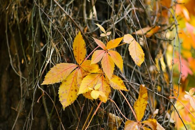 Gelbe blätter von wilden trauben