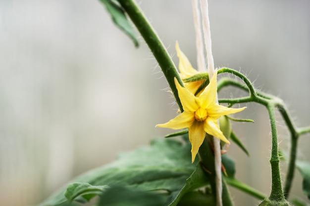Gelbe blüten einer blühenden tomate