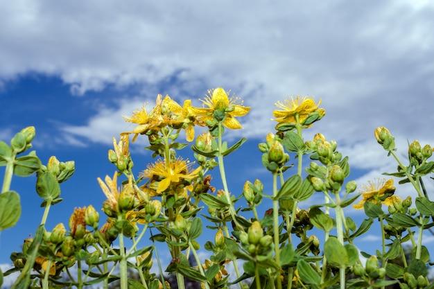 Gelbe blüten und knospen von johanniskraut streben nach bewölktem himmel. senken sie den aufnahmepunkt.