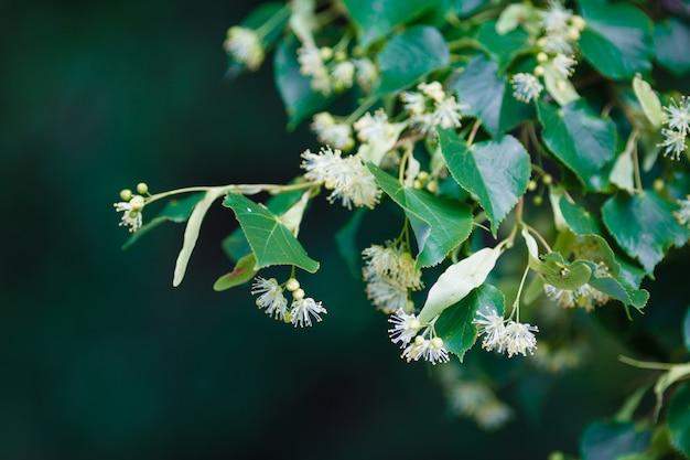 Gelbe blüten von linden, die während der blüte hautnah fotografiert werden