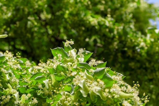 Gelbe blüten von lindenbäumen, während der blüte hautnah gezeichnet