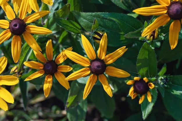 Gelbe blüten von rudbeckia auf blumenbeet, ansicht von oben