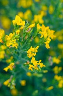 Gelbe blüten von süßem klee