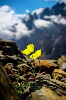 Gelbe blume auf den felsen in den alpen.
