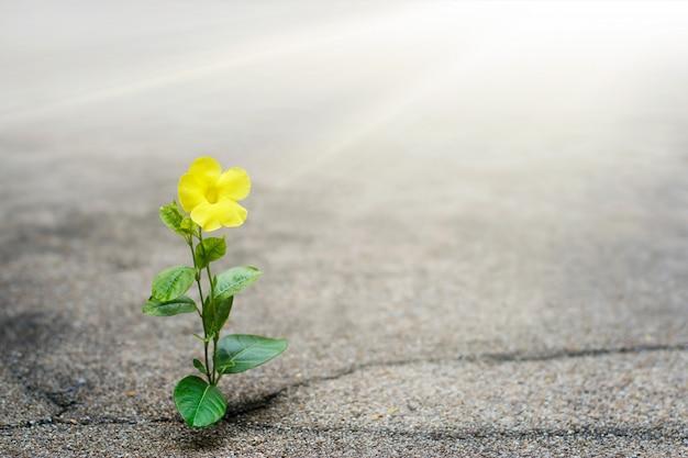 Gelbe blume, die auf sprungsstraße, hoffnungskonzept wächst