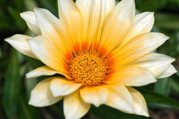 Gelbe blume, die im garten blüht
