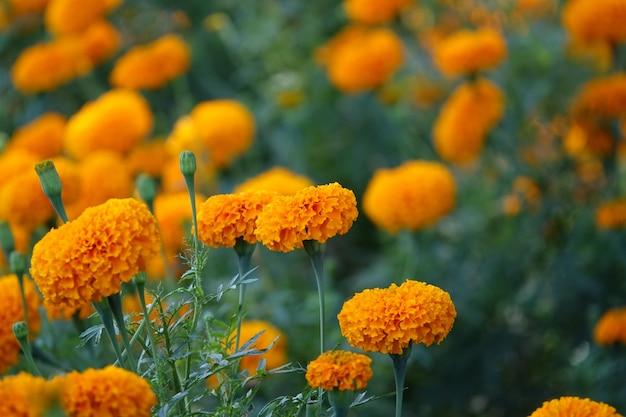 Gelbe blume mit einem hintergrund von gelben blüten unscharf