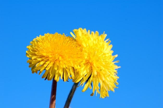 Gelbe blume mit vielen blütenblättern