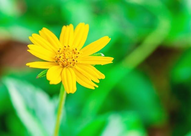 Gelbe blume name jacobaea vulgaris oder senecio jacobaea, tropische blume auf verschwommener grüner natur und bokeh-hintergrund, makro Premium Fotos