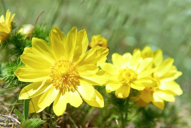 Gelbe blumen (adonis vernalis) auf der grünen wiese