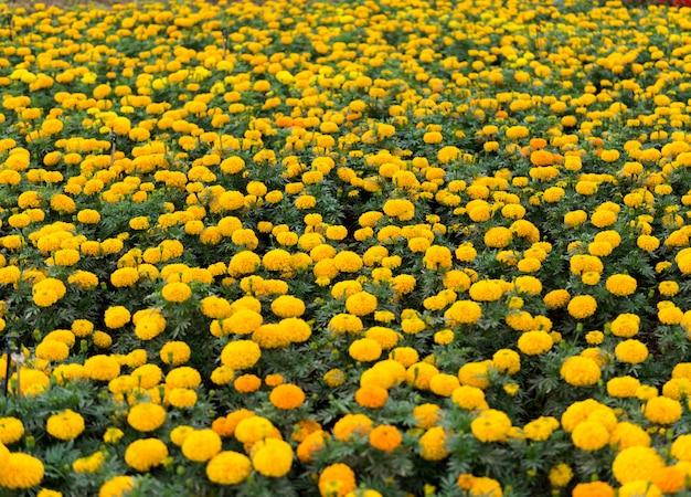 Gelbe blumen auf einem gebiet