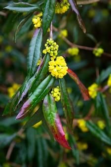 Gelbe blumen auf einem grünen zweig mit regentropfen. früher frühling.