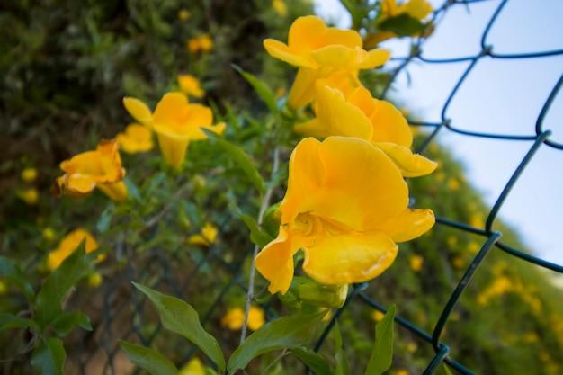 Gelbe blumen auf einem zaun