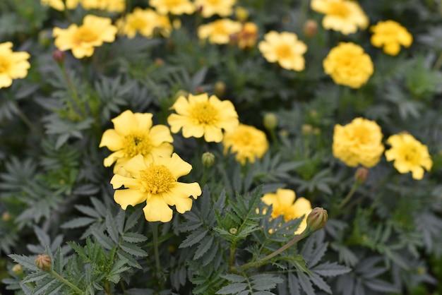 Gelbe blumen der mexikanischen ringelblume, die im sommer auf die wiese schwenken. gelbe ringelblumenblüten.
