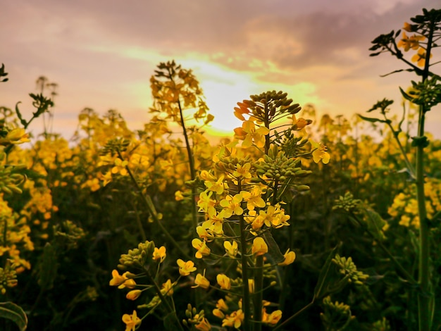 Gelbe blumen der rapsfelder bei sonnenuntergangslicht