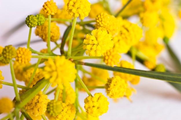 Gelbe blumen des frühlinges der mimose.