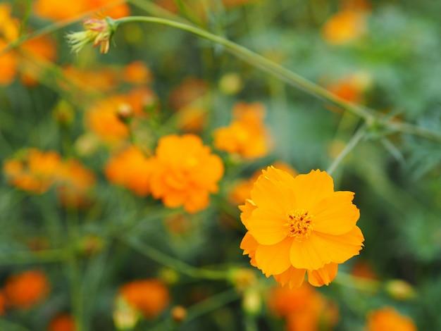 Gelbe blumen, die im garten blühen