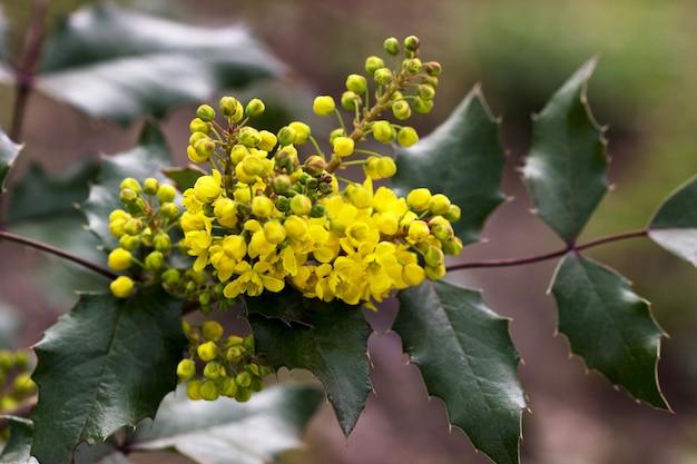 Gelbe blumen und zweige eines magnonia-busches im park.