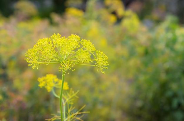 Gelbe blumen von anethum-graveolens dill auf den gartengebieten