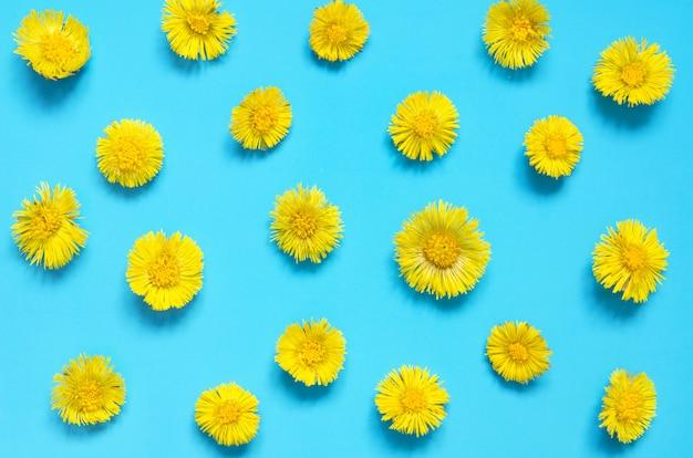 Gelbe blumen von coltsfoot auf blauem hintergrund. (tussilago farfara). medizinische pflanze.
