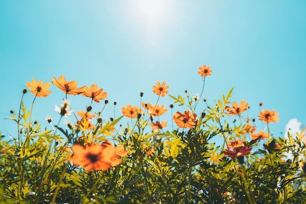 Gelbe blumenkosmosblüte mit sonnenschein und blauem himmel
