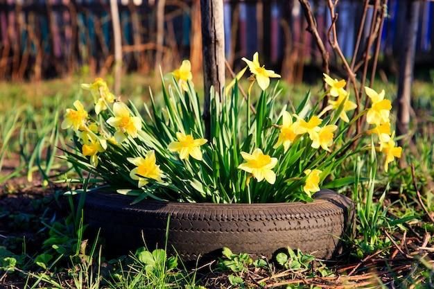 Gelbe blumennarzissen, die in einem autoreifen wachsen