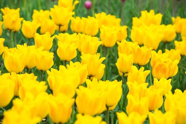 Gelbe blumentulpen im grünen schönen park