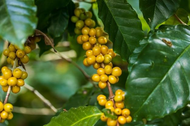 Gelbe catimor-kaffeebohnen, die auf baum im norden von thailand reifen