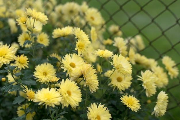 Gelbe chrysanthemen im herbstgarten, naturherbstblumenhintergrund.