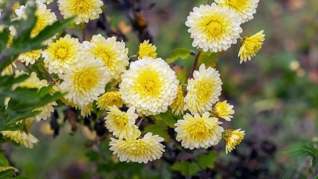 Gelbe chrysanthemen in einem blumengarten im herbst. blühende chrysanthemen