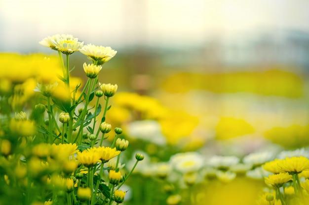 Gelbe chrysanthemenblume im garten