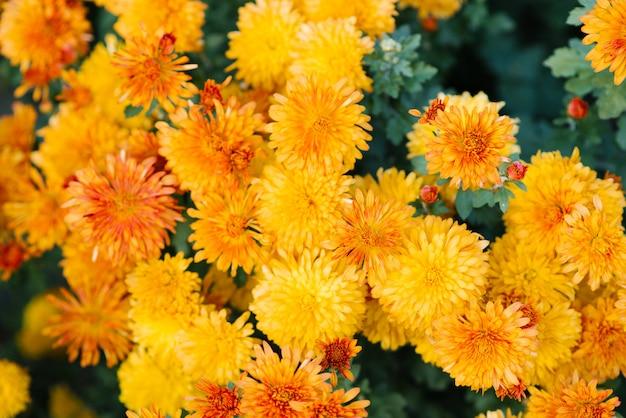 Gelbe chrysanthemenblumen blühen im garten im herbst