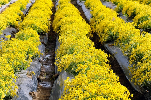 Gelbe chrysanthemenfarm