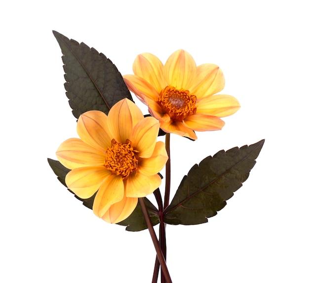Gelbe dahlienblume mit blättern lokalisiert auf weiß