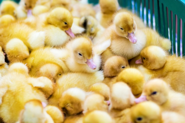 Gelbe ente im kasten zum verkauf auf der messe. inkubator entenküken zum verkauf_