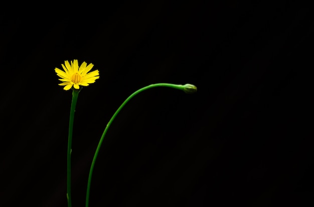 Gelbe farbe der löwenzahnblume lokalisiert auf dunkelheit