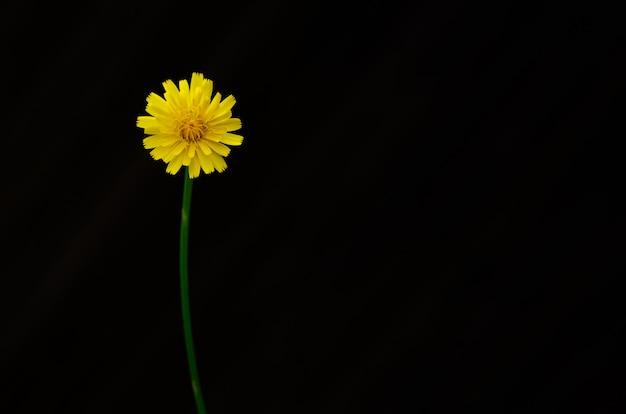 Gelbe farbe der löwenzahnblume lokalisiert auf dunklem hintergrund mit raum für text.