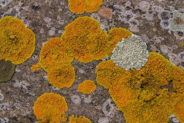 Gelbe flechte auf einem felsen