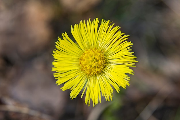 Gelbe fohlenfußblume auf unscharfem braunem hintergrund