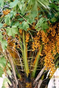 Gelbe früchte der dattelpalme auf der zweignahaufnahme