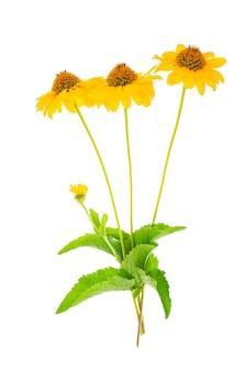 Gelbe gartenblumen lokalisiert auf weißem hintergrund.