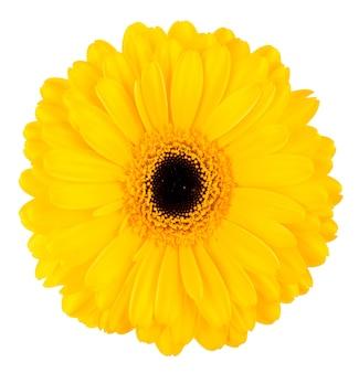 Gelbe gerberablume lokalisiert auf weißem blumenhintergrund