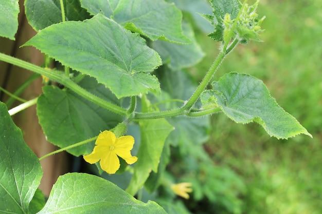 Gelbe gurkenblume auf grünem zweig mit blättern nahaufnahme