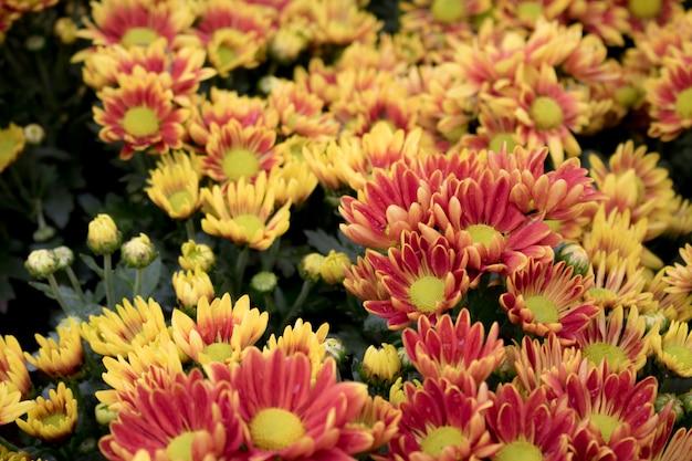 Gelbe herbstblume der nahaufnahme im garten. und morgenlicht ist eine schöne blume